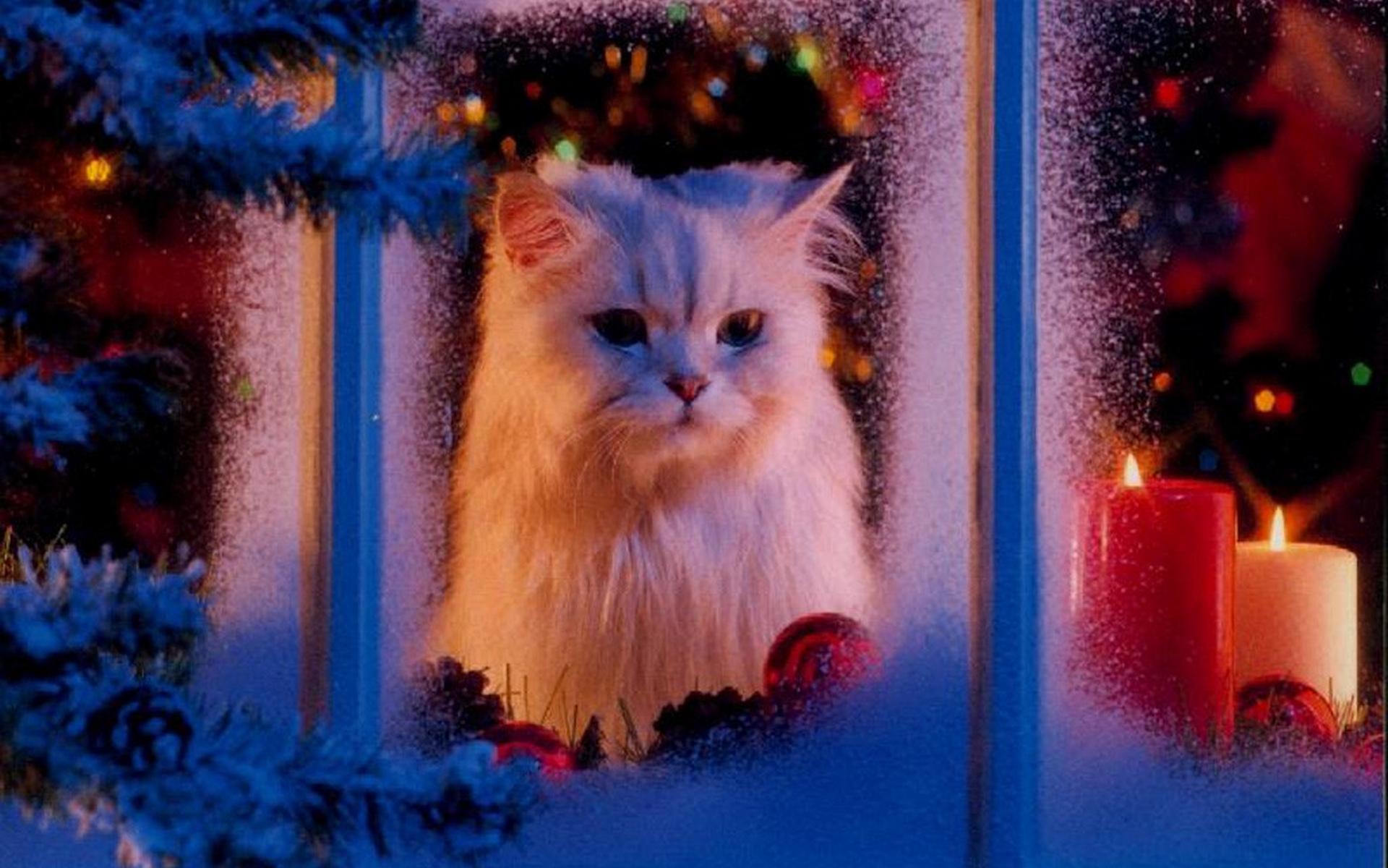 Белый кот выглядывает из окна: новогодние обои, картинки, фо.
