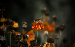 The withered flower wallpaper sad