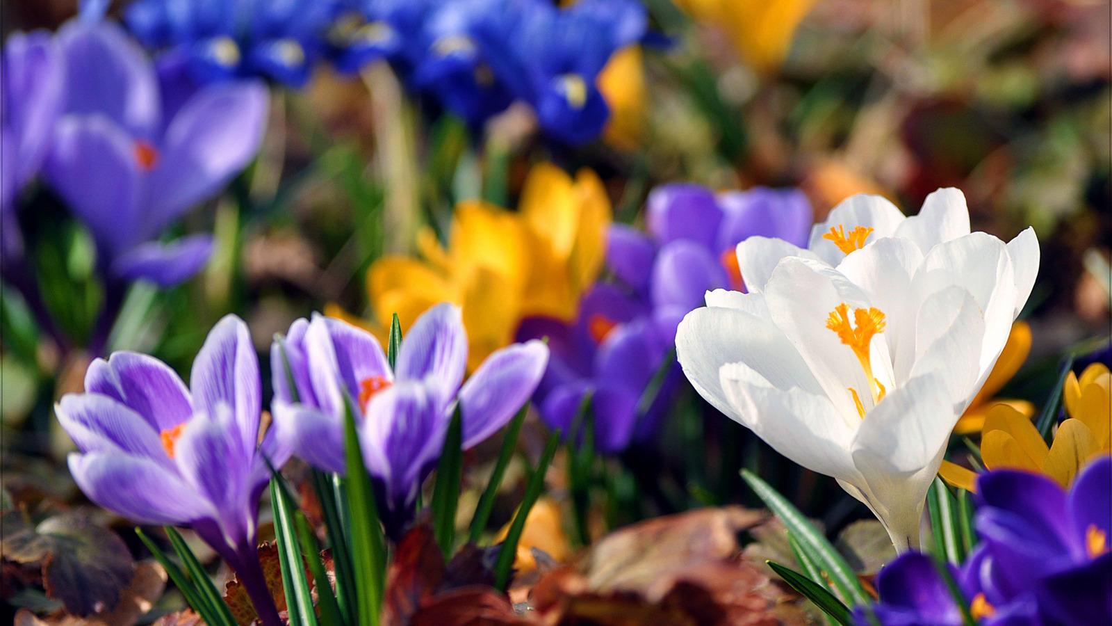 3d шпалери весна підсніжники 1600х900