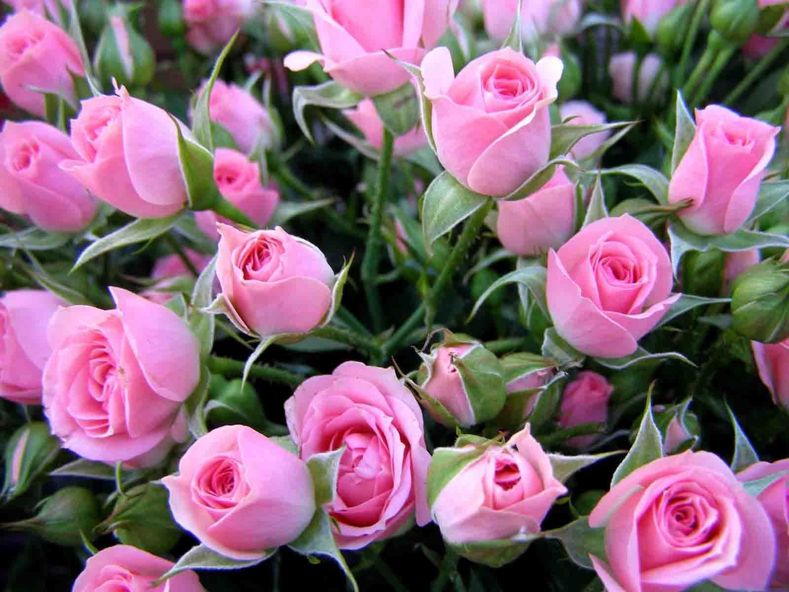 Дикі рожеві троянди квіти квіти