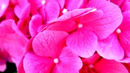 Пересадка: Сорта Гортензии с розовыми, белыми и красными цветками.