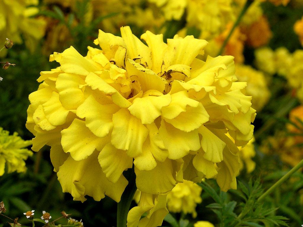 3d шпалери чорнобривці квіти, шпалери hq