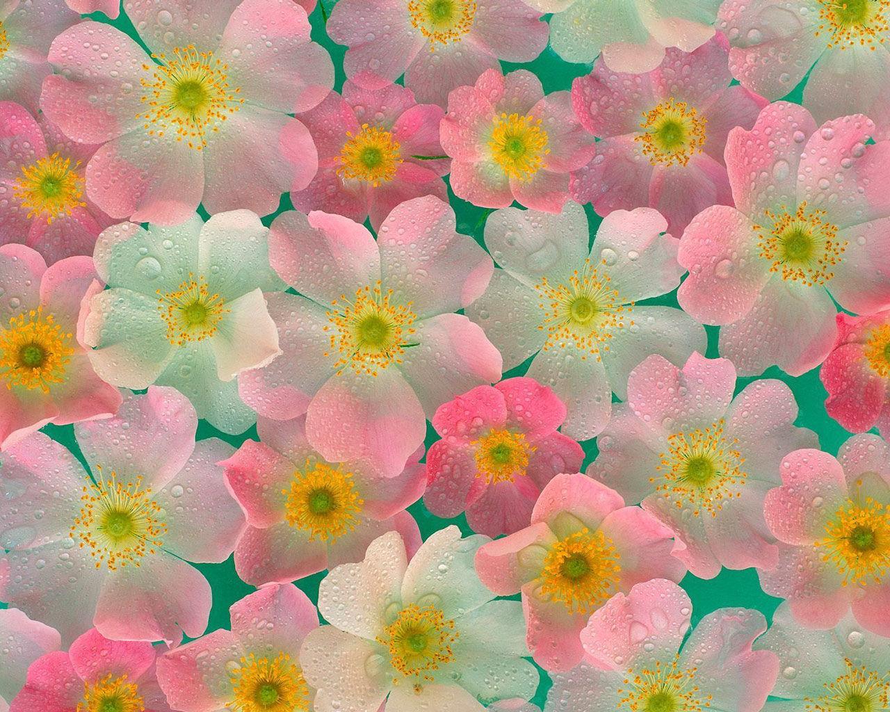 3d шпалери анемона квіти шпалери hq