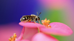 wallpaper Biene sammelt Pollen 1920x1080