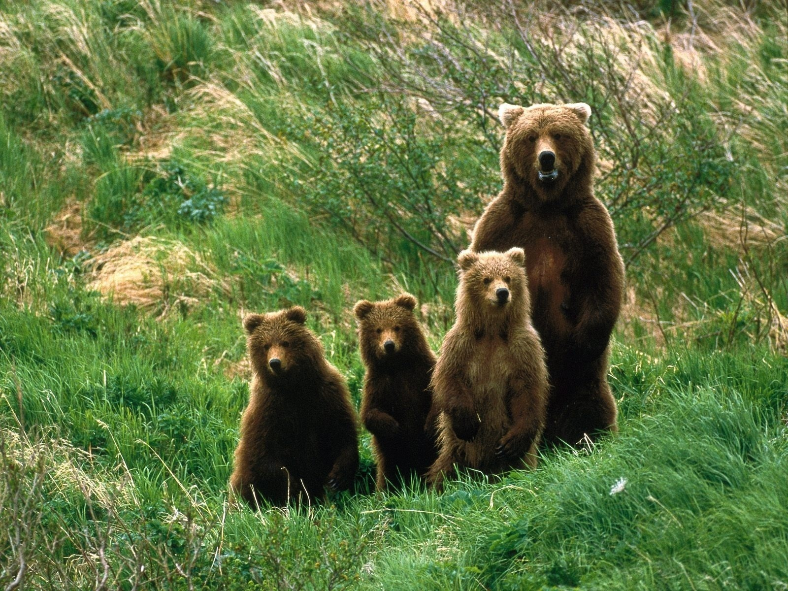 Wallpaper bär und drei jungen bären / bears