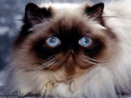Sehr flauschige Katze Wallpaper 1024x768