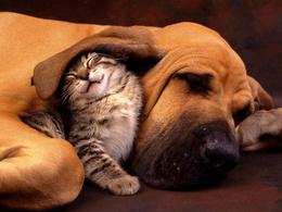 Striped wallpaper kitten under the ear Mastiff 1024x768