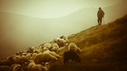 wallpaper flock of sheep and shepherd 1920x1080