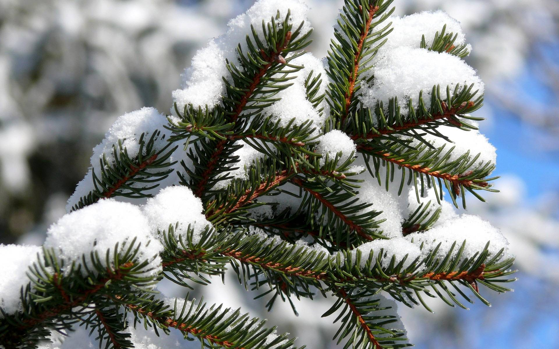 Snowy fir branch wallpaper - 1046958