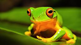 Frog on leaf wallpaper 1920x1080