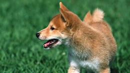 Puppy husky red wallpaper 1920x1080