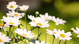 Daisies wallpaper 1920x1080