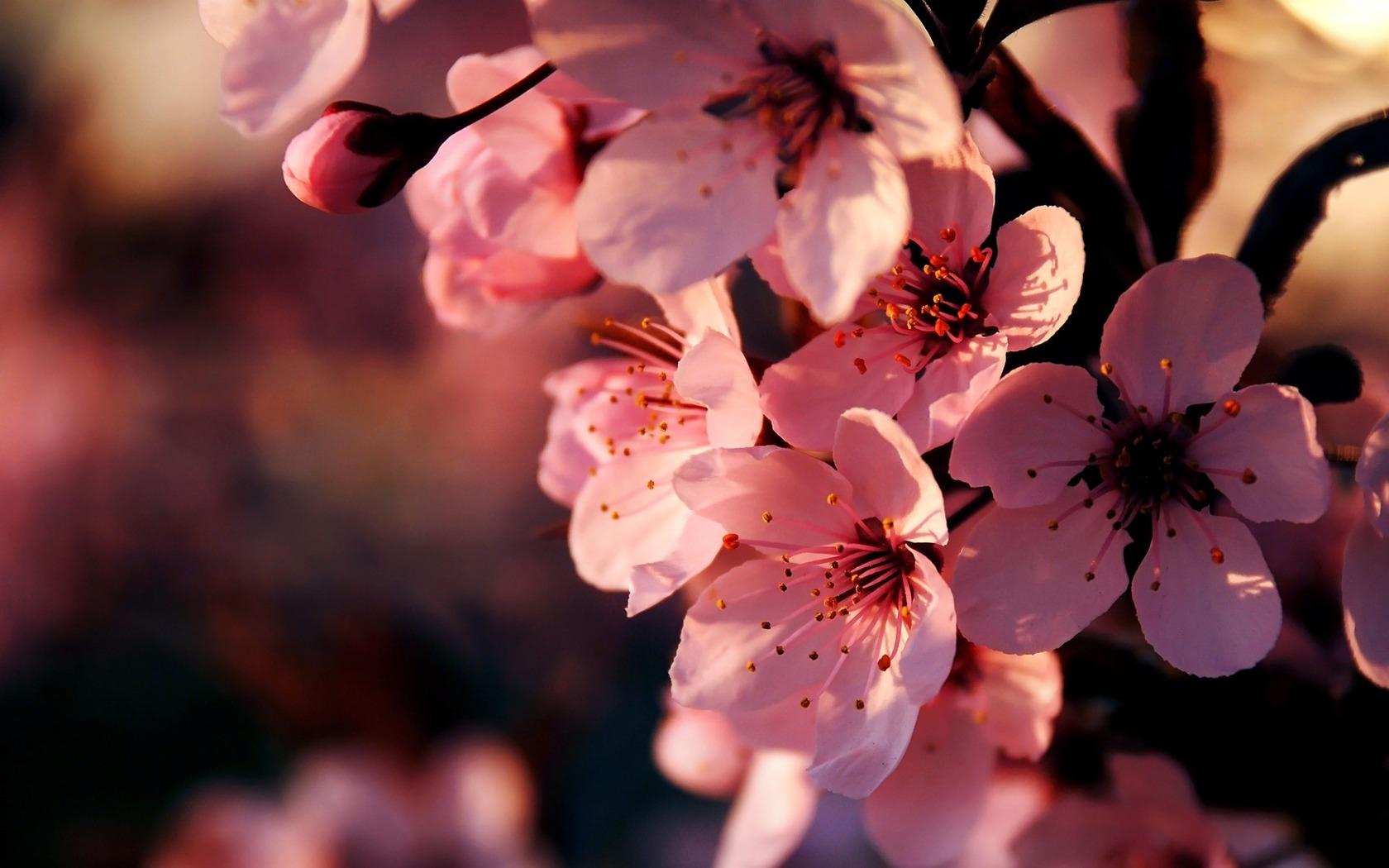 Wallpaper rosa blüten von kirsche blüten flowers