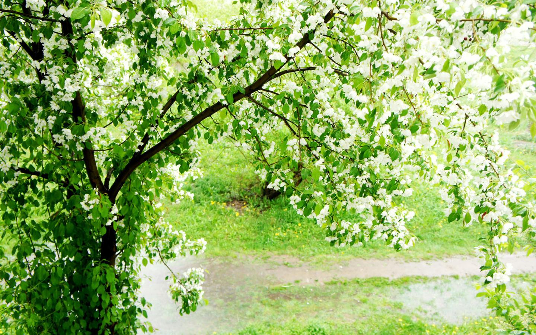 Обои цветущие деревья под лёгким