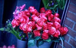 Wallpaper Roses in Vasen sind 2560x1600
