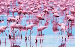 wallpaper pink flamingo water