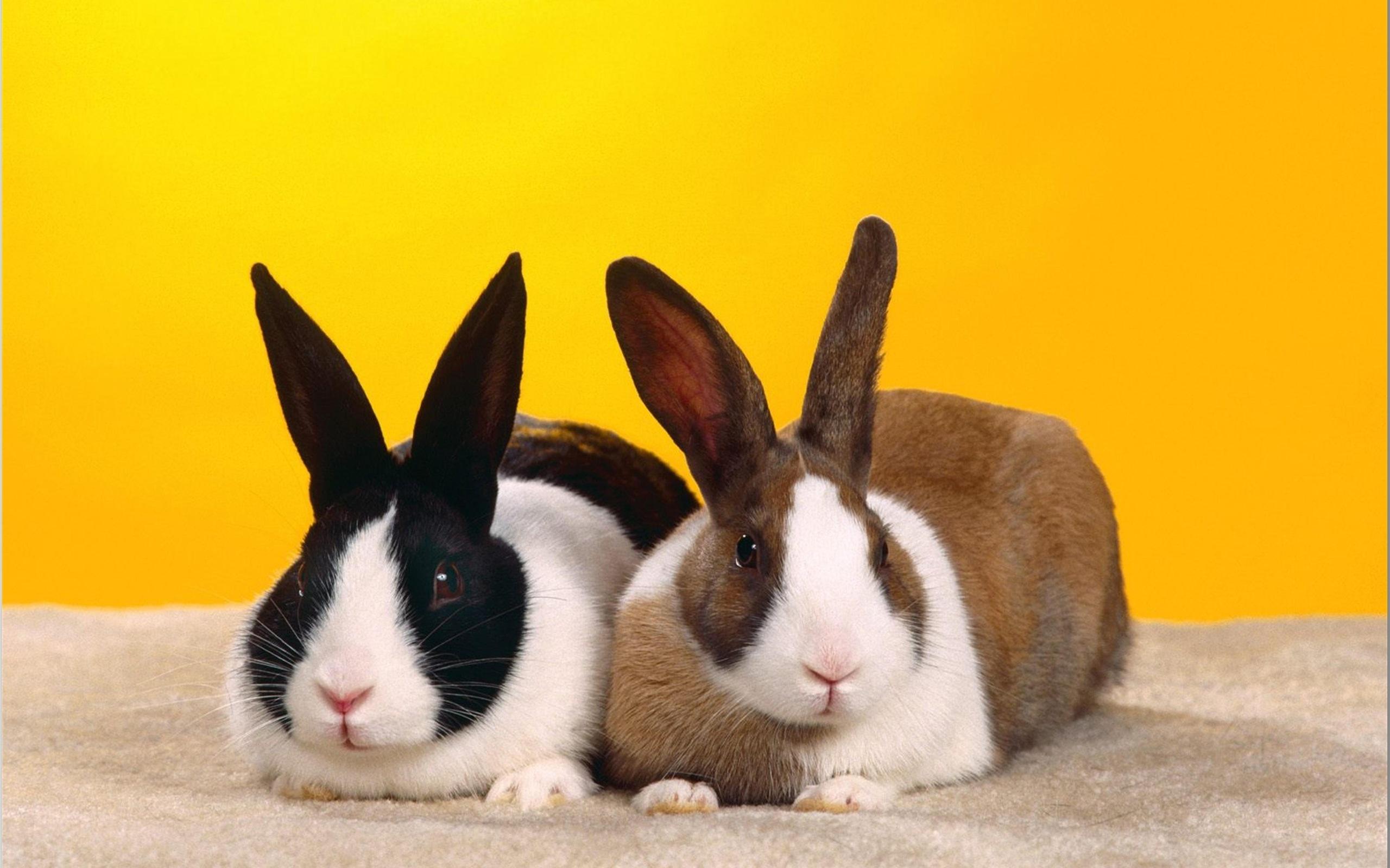 Wallpaper Schwarz-Weiß-und Rot-Weiß-Kaninchen 2560x1600