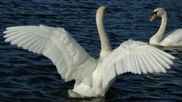 Swans on a lake wallpaper water