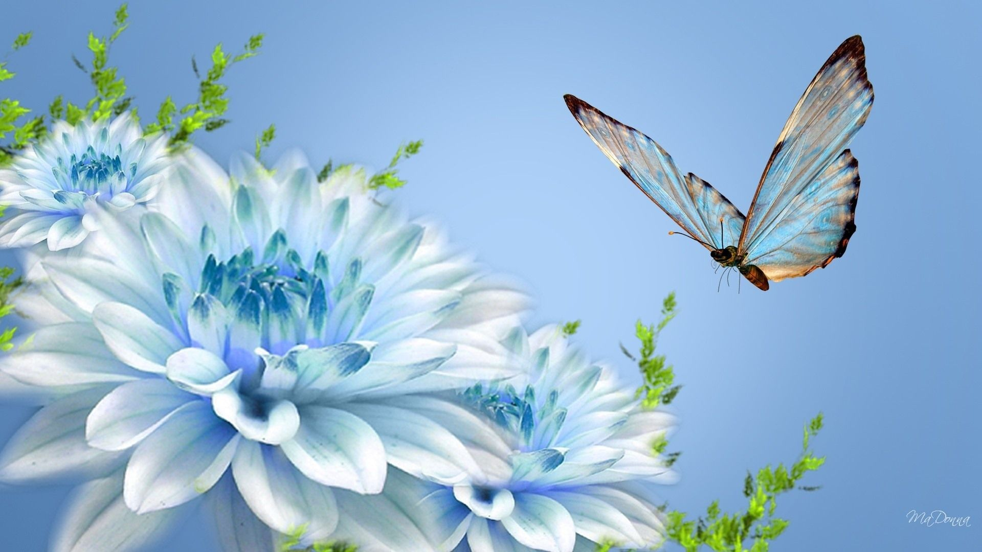 ... flattert in der Nähe wallpaper blauen Blüten (Madonna) 1920x1080